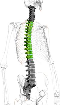 zeichnung eines menchlichen Skelettes mit Hervorhebung der Brustwirbelsäule