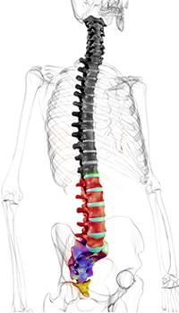 zeichnung eines menchlichen Skelettes mit Hervorhebung der Lendenwirbelsäule